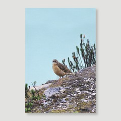 Greater Ground Robin